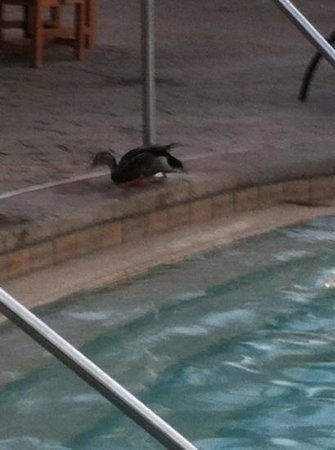 Loews Royal Pacific Resort at Universal Orlando: the winning duck