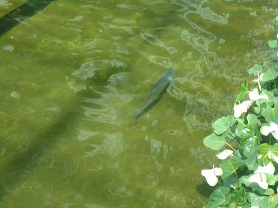 Gaylord Opryland Resort & Convention Center: Huge fish in River running through hotel
