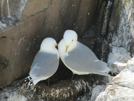Northumberland, UK: Kittiwakes building their nest