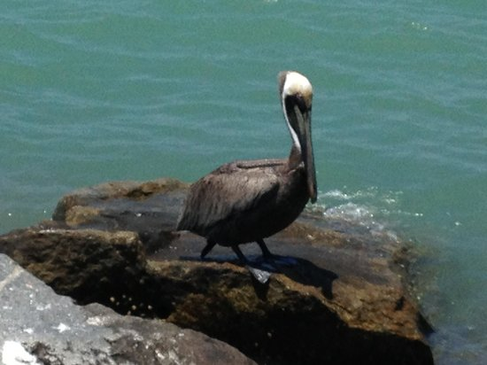 Ocean Village: My Friend, The Blonde Pelican