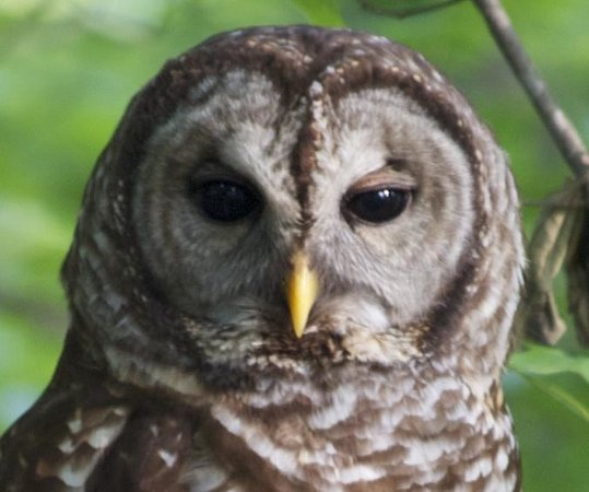 Marietta, GA: Barred Owl in the backyard of the Blue and Gray B&B