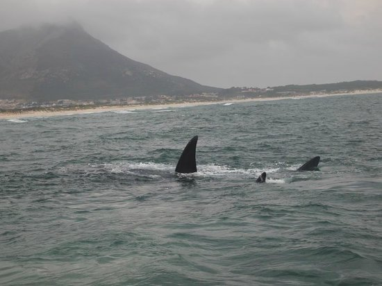 Whale pics shot from Hermanus Whale Cruises boat at Kleinmond