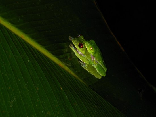Pavones, Costa Rica: Frogs seen on the night walk