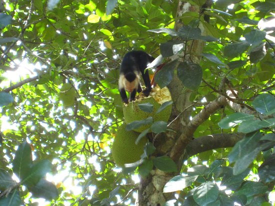 Pavones, Costa Rica: Monkey eating a jackfruit