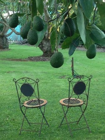 North Tamborine, Avustralya: The grounds...set amongst an abundance of avocado's!