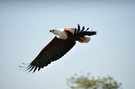Kariba, Zimbabwe: Fish Eagle