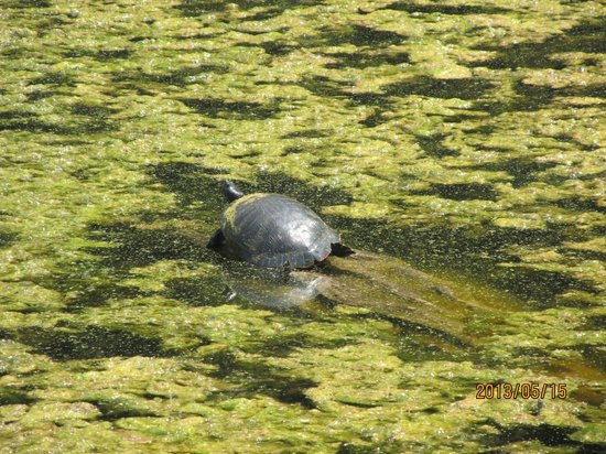 Newport News, VA: Turtle still chillen