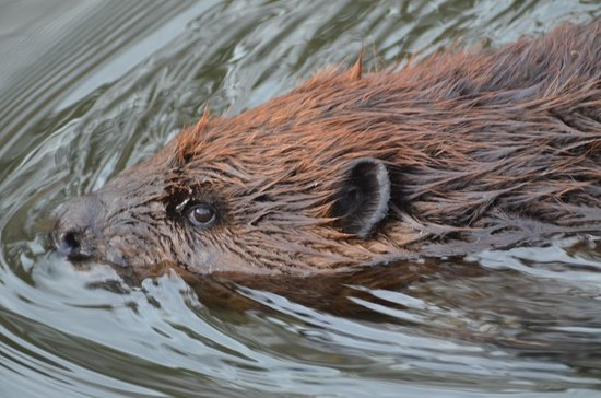 Lenox, MA: Beaver from the Beaver Lodge Trail