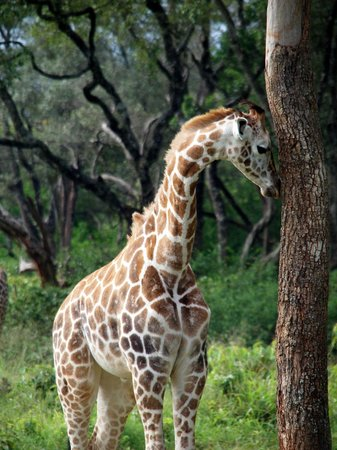 ‪‪Giraffe Manor‬: One of the giraffes living at the manor‬