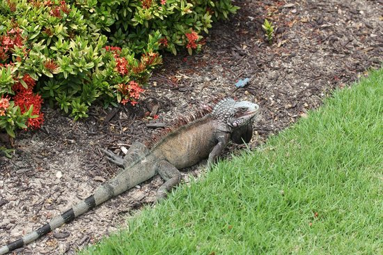 Westin St. John Resort & Villas: One of the iguanas on the property...