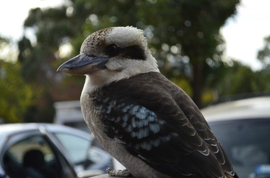 Halls Gap Lakeside Tourist Park: Kookaburra sitting next to our tent.