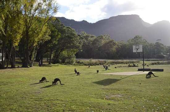 Halls Gap, Australie : Kangaroos on the riverplains