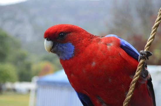 Halls Gap, Australie : Rosella eating our birdfood (available at the reception for a gold coin)