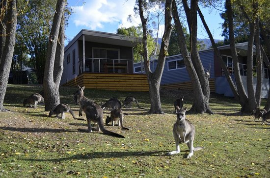 Halls Gap, Australie : Kangaroos in front of the new cabins.
