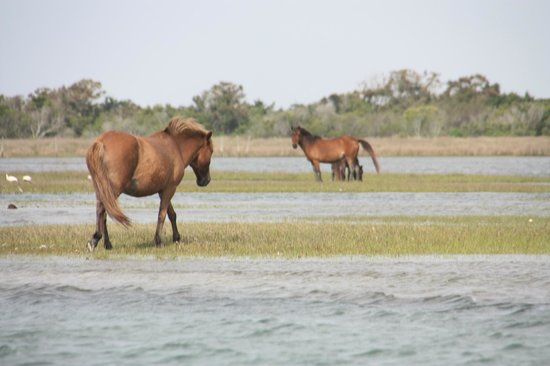 Horses on shackleford banks for Harkers island fishing report