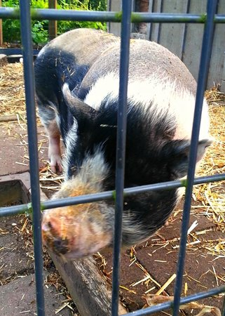 Woodinville, WA: Basil The Pig - their food composter, not dinner!
