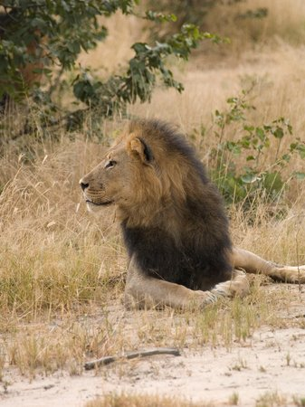 Hwange National Park, Zimbabwe: Lion time!