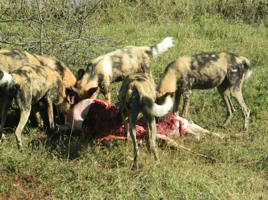 ‪‪andBeyond Leadwood Lodge‬: Wild Dog Kill‬