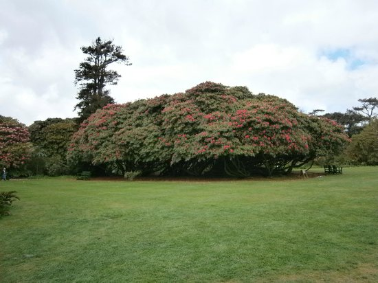 St Austell, UK: One of the magnificent Rhodedendrone specimens