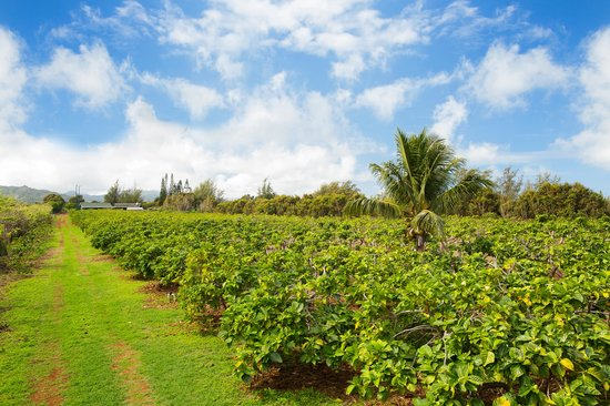 Kaakaaniu Plantation Tours