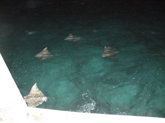 Hatchet Caye Resort: Spotted Eagle Rays at night