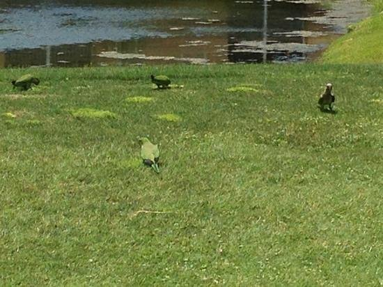 Largo, FL: Parrots on the 6th Tee.
