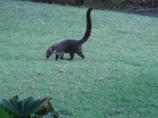 The Westin Golf Resort & Spa, Playa Conchal: The Coati outside our room.