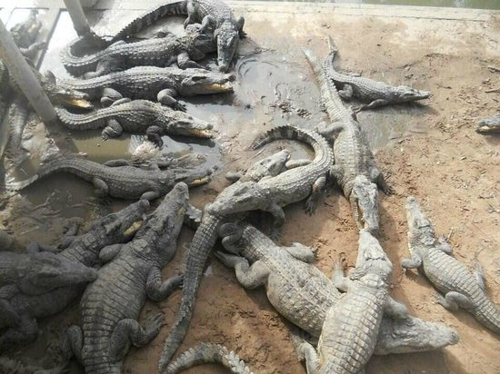 Siem Reap Crocodile Farm: Lots and lots of Crocodiles