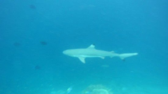 Bandos Island Resort & Spa: shark