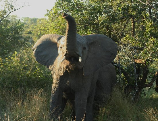 Timbavati Private Nature Reserve, South Africa: young elephant