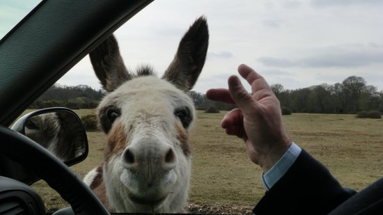 Hampshire, UK: Friendly donkey in the New Forest
