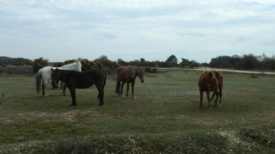 Hampshire, UK: Horses roam freely in the New Forest