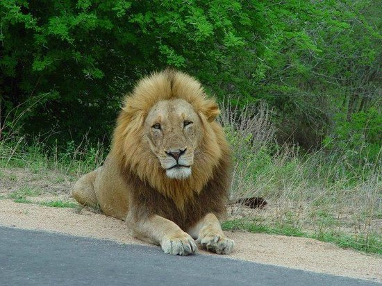 Bushwise Safaris: Lion spotted on one of our kruger trips