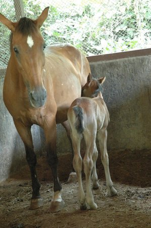 The Springs Resort and Spa at Arenal: Baby calf born in the hotel stable 4 hrs before this picture was taken
