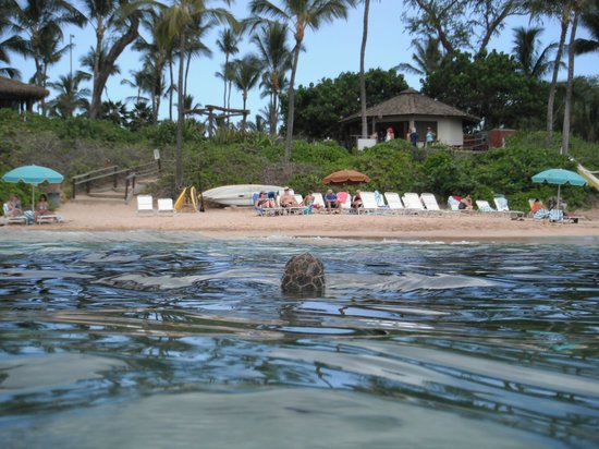 Makena, HI: Turtle popping up to say hello!  (picture facing the hotel beach)