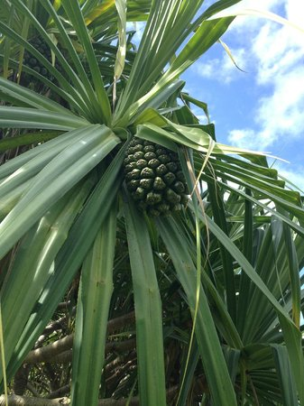 Kaneohe, HI: pineapple tree?