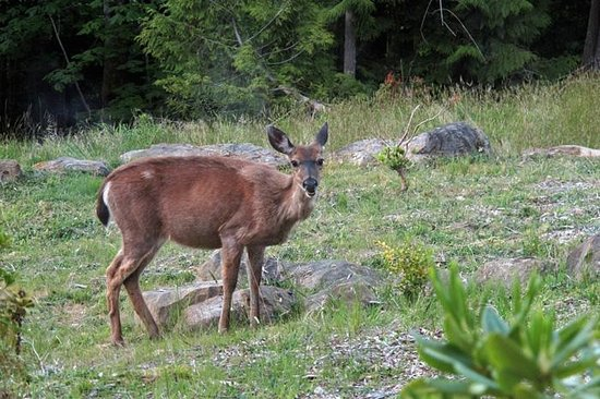 Gabriola Island, Canadá: You will see a lot of deer!