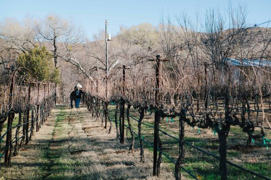 Cornville, AZ: Pruning the estate vines in 2013.