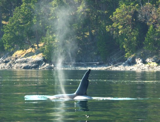 Duncan, Kanada: Male Killer Whale (goes by the name of Chainsaw)
