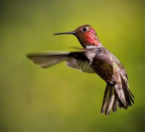 Groveland, CA: Anna male hummingbird