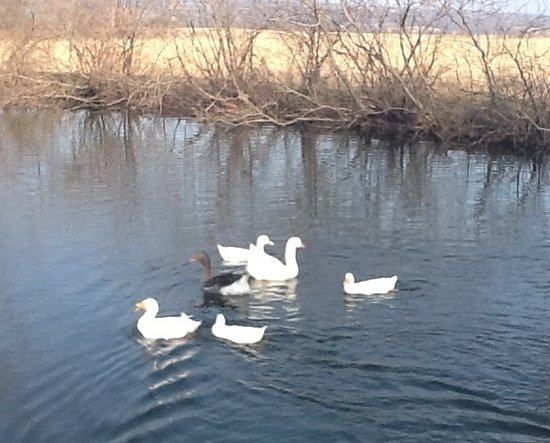 Trumansburg, NY: The ducks and geese enjoy the pond after a long winter