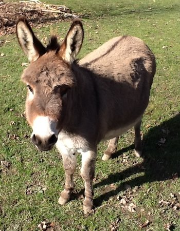 Trumansburg, NY: Ataya, one of our friendly donkeys