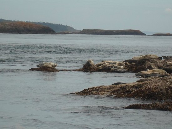 Eastsound, WA: harbor seals