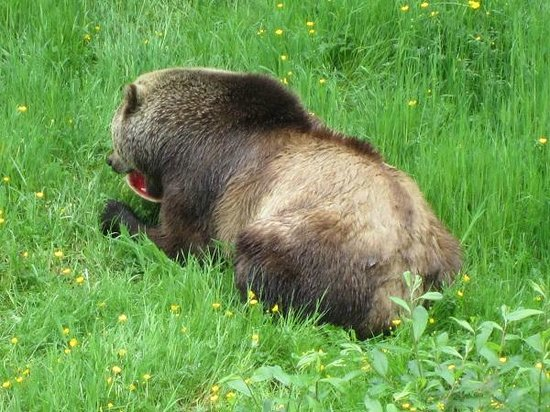 Aldergrove, Canada: Grizzly lunching on watermelon!