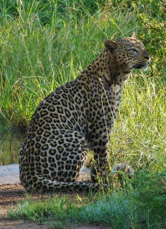 Benoni, Sør-Afrika: Early morning leopard encouter at Kruger