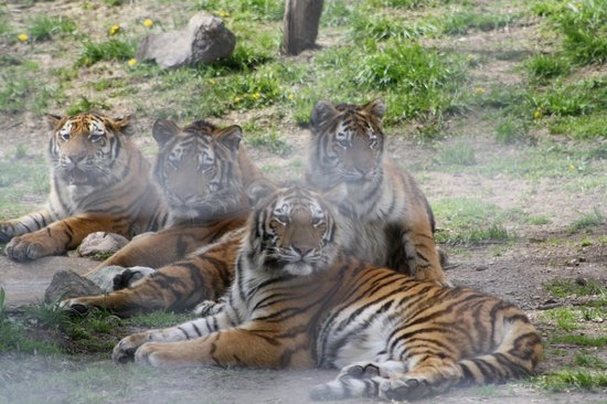 Πεόρια, Ιλινόις: Our four Amur tiger cubs will be one year old this summer!