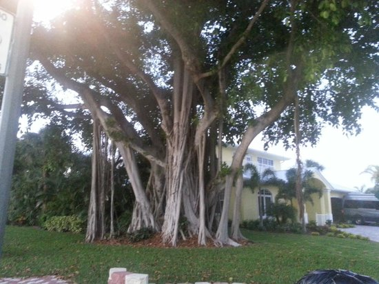 Palm Beach Shores, FL: Banyan Tree
