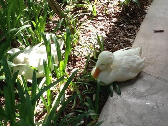 Ramada Limited Santa Barbara: friendly ducks