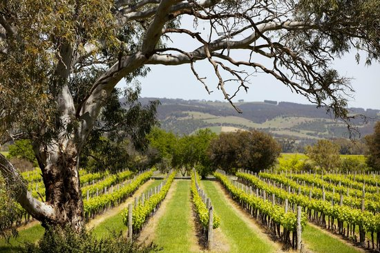 McLaren Vale, Australia: Fox Creek vineyeards