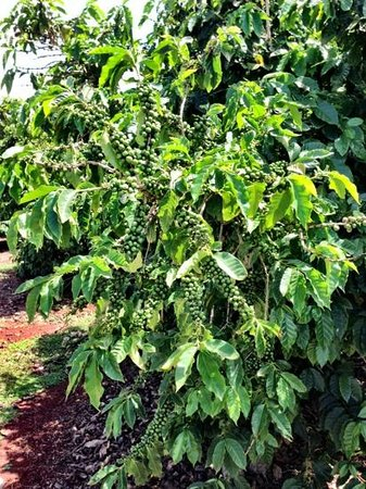 Kalaheo, Havai: coffee tree full of green berries